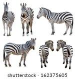 Zebra Isolated White Background - Fine Art prints