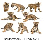 baby bengal tiger isolated on... | Shutterstock . vector #162375611