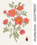 rose hip. bush rose. botanical... | Shutterstock .eps vector #1623798037