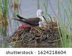 The black winged stilt  common...