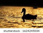 Silhouette of a swan swimming on the lake at sunset - Kuchajda, Bratislava, Slovakia, Europe
