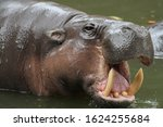 Dwarf Hippopotamus Open Mouth...