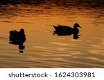 Silhouette of ducks swimming on the lake at sunset - Kuchajda, Bratislava, Slovakia, Europe