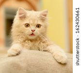 Stock photo fluffy persian kitten playing in the room 162430661