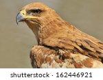Tawny Eagle   Wild Bird...