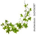 Green Ivy Plant Hedera Helix...