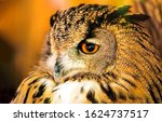 Owl Eye. Owl Face Portrait. Owl