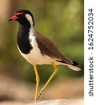 Small photo of A close up of RED WATTLED LAPWING is an Asian lapwing or large plover, a wader in the family Charadriidae. Like other lapwings they are ground birds that are incapable of perching. Shot on 20.01.2020