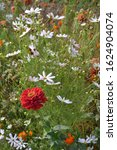 Gardening. Flower Zinnia. Home...