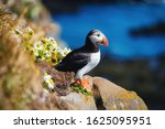 Puffin in the iceland. seabirds ...