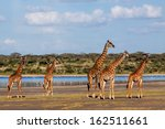 Beautiful Herd Of Giraffes Nea...