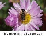 Female Hoverfly  Eristalis...
