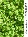 Small photo of Arugula sprouts in sunlight from above. Sprouting rocket, Eruca vesicaria, also called garden rocket. Green seedlings and young plants of Lens esculenta puyensis. Healthy microgreen. Macro food photo.