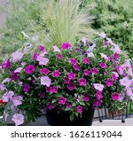 Pink And White Petunias In...