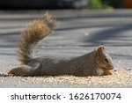 Fox Squirrel Laying Down To Eat