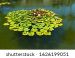 Lily Pond With Beautiful...