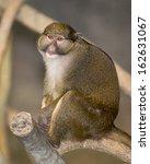 Allen's Swamp Monkey ...