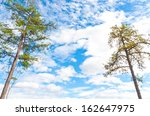 Two pine trees against blue sky. - stock photo