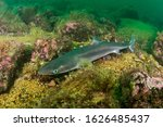 Spiny Dogfish  Squalus...
