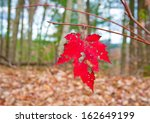 Last red maple leaf in autumn forest. - stock photo