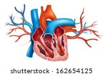 illustration of a human heart... | Shutterstock .eps vector #162654125