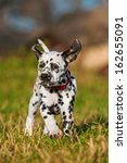 Dalmatian Puppy Running In The...