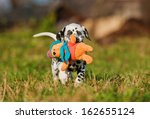 Stock photo dalmatian puppy playing with soft toy 162655124