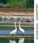 Small photo of The intermediate egret, median egret, smaller egret, or yellow-billed egret is a medium-sized heron.