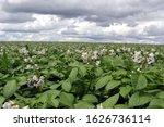 A Blossoming Potato Field In...