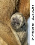 Small photo of Black-howler monkey, Alouatta caraya, single female with young, on branch, Brazil