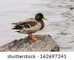 Male Mallard Duck Standing On ...