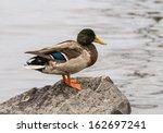 Male Mallard Duck Standing On ...