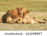 Lioness  Cubs   Cuddling