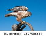 Ferruginous Hawk Ready To Take...