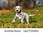 Stock photo dalmatian puppy running 162724481