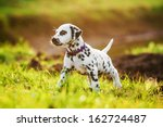 Stock photo dalmatian puppy in autumn 162724487