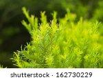 green australian tea tree. | Shutterstock . vector #162730229