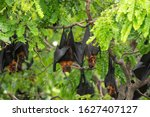 Bats Hanging On A Tree Branch ...