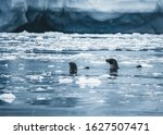 Hooded Seal On Sea Ice And...