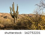 Постер, плакат: Two mature Saguaro cacti