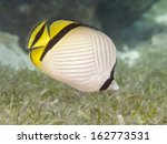 Vagabond Butterflyfish In Bohol ...