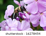 Bumblebee pollinating purple flowers.  Macro with shallow dof. - stock photo