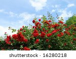 Stock photo beautiful rose bush against blue sky with white clouds 16280218