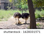 Two Ostrich Eating Their Meal...