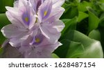 eichhornia  commonly called...