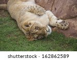 Lion Cub Waking Up After Resting