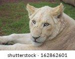 Portrait Of A White Lion Cub
