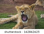 Yawning Lion Cub With Eyes...