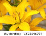 Yellow Lily Flower Wet From A...