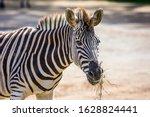 the zebra grazes in the aviary... | Shutterstock . vector #1628824441